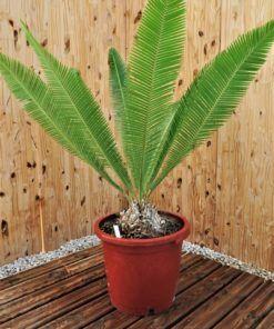 Encephalartos Dioon Spinulosum 3-4cm Caudex Cycas Cycad